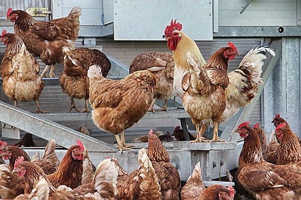 Biodynamische Tierhaltung mit dem Hühnermobil