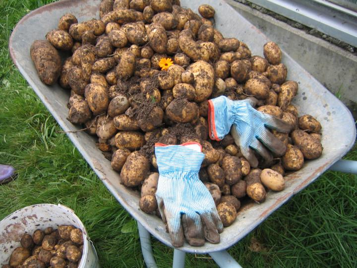Am besten: die eigenen Kartoffeln verwenden